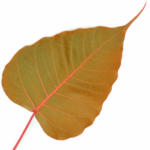 cropped-cropped-bodhi-leaf_fav-1.png