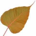 cropped-cropped-bodhi-leaf_fav-1.png